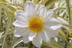 Big beautiful white flower Stock Image