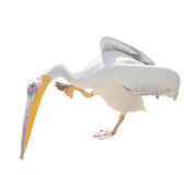 Big Beautiful White Pelican Isolated On White. Funny Cute Zoo Bird Pelican Royalty Free Stock Photo