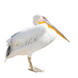 Big beautiful white pelican isolated on white. Funny cute zoo bird pelican royalty free stock images