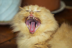 Big beauty red cat yawns Stock Images