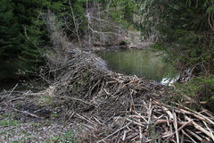 A big beaver building at a stream in Bavaria Royalty Free Stock Photo