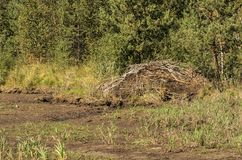Big beaver hut on one of the many marshes in the forest. In Europe Stock Photo