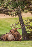 Big Bedded Bull Elk Bugling Royalty Free Stock Photography