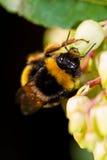 Big bee Stock Photography