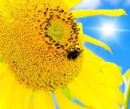 Big bee Royalty Free Stock Image