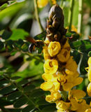 Big bee and cassia Stock Photo
