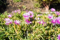 A big bee harvesting honey in wild flowers royalty free stock photo