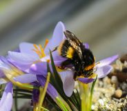 Big bee on a large violet flower. Large bee on a large purple crocus flower stock photos