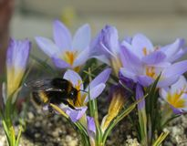 Big bee on a large violet flower stock photo