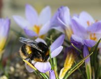 Big bee on a large violet flower royalty free stock images