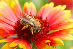 Big bee on the red flower. Macro close up photo Royalty Free Stock Photo