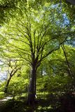 Big beech tree Stock Images