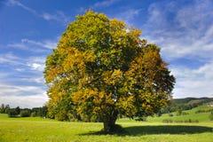 Big beech tree royalty free stock photography