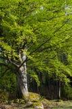 Big beech tree Stock Photos