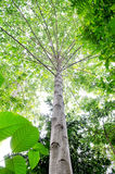 Big beech trees in spring wood Stock Image