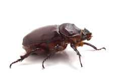 Big beetle. On the isolated background Stock Images