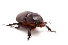 Big beetle. On the isolated background Stock Photography