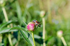Big beetle sits quietly on peony bud crawls Royalty Free Stock Photo