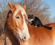 Big Belgian Draft horse with a long haired black and white cat. Sitting on his back Royalty Free Stock Photography