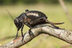 Big bellied cricket on twig Stock Photos