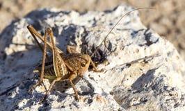 Big-Bellied Glandular Bush-Cricket on Rock Royalty Free Stock Photography