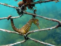 Big-belly Seahorse. (Hippocampus abdominalis) in a sharknet Royalty Free Stock Images
