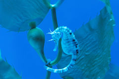 Big-belly seahorse Stock Images