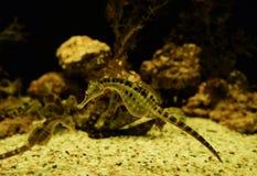 Big belly seahoruse Stock Photography
