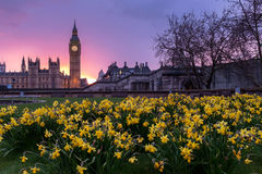 Big Ben over daffodils Stock Photo