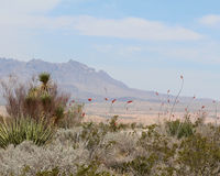 Big Bend with Ocotillo Royalty Free Stock Photography