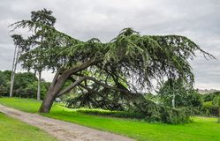 Big bended tree in the park. Big bended tree and a small path in a park in Paris, France, at the end of the day Royalty Free Stock Image