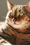 Big Bengal. Close up of front of Bengal cat Royalty Free Stock Photos