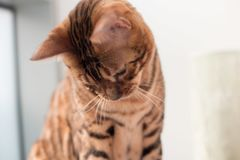 Bengal Cat with big yellow eyes. Big Bengal cat with giant yellow eyes, and head tilted stock photo