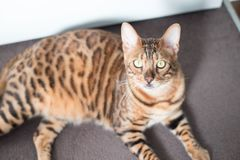 Bengal Cat with big yellow eyes. Big Bengal cat with giant yellow eyes looking up at the camera royalty free stock image