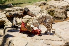 Big bengal tiger eats his prey Royalty Free Stock Photography