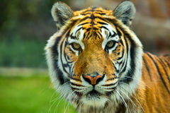 The Big Bengal Tiger head Stock Photo