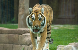 The Big Bengal Tiger moving forward Stock Photography