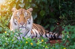 Big Bengal tiger. Stock Images