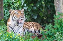 Big Bengal tiger Stock Images