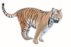 Big bengal tiger. Smart bengal tiger on white background Stock Photo