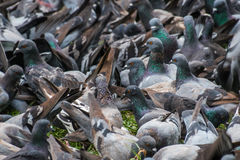 Big bevy of pigeons looking for food in park in Thailand. Big bevy of pigeons looking for food in park royalty free stock photo