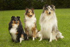 Big, Bigger, Biggest of Small Shelties. Small shelties and collie. From small to big stock images