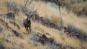 Big Bighorn Sheep Ram Looking Forward. stock photography