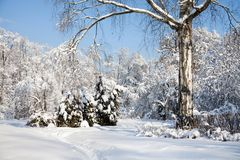 Big birch tree with snow covered branches, beautiful winter forest landscape, cold january sunny day. Blue sky. Background royalty free stock photo