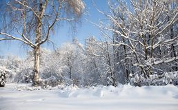 Big birch tree with snow covered branches, beautiful winter forest landscape, cold january sunny day. Blue sky. Background stock photography