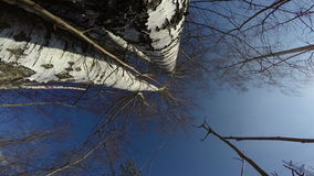 Big birch tree in spring forest from beneath and camera rotation, 4K stock video footage