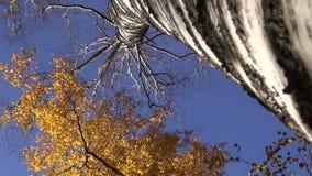 big birch tree trunk in golden autumn forest stock video