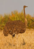 Big bird. Female ostrich forages in the late evening sun, South Africa Stock Photography