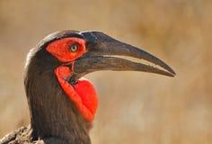 Big bird. Southern ground hornbill portrait, South Africa Royalty Free Stock Photos