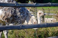 Big bird behind the fence on an ostrich farm royalty free stock photography